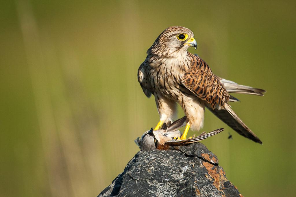 Falco tinnunculus; Kestrel; Turmfalke; beute; birds; capture; falconiformes; falken; female; greifvögel; hunting; jagd; pröhl; raptors; vögel; weibchen