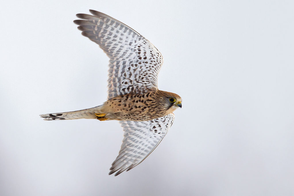 Falco tinnunculus; Kestrel; Turmfalke; birds; falconiformes; falken; flight; flug; greifvögel; raptors; schnee; snow; vögel; winter