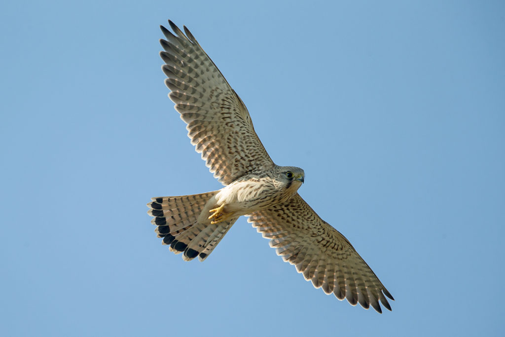 Falco tinnunculus; Kestrel; Turmfalke; birds; falconiformes; falken; female; flight; flug; greifvögel; pröhl; raptors; rütteln; vögel; weibchen