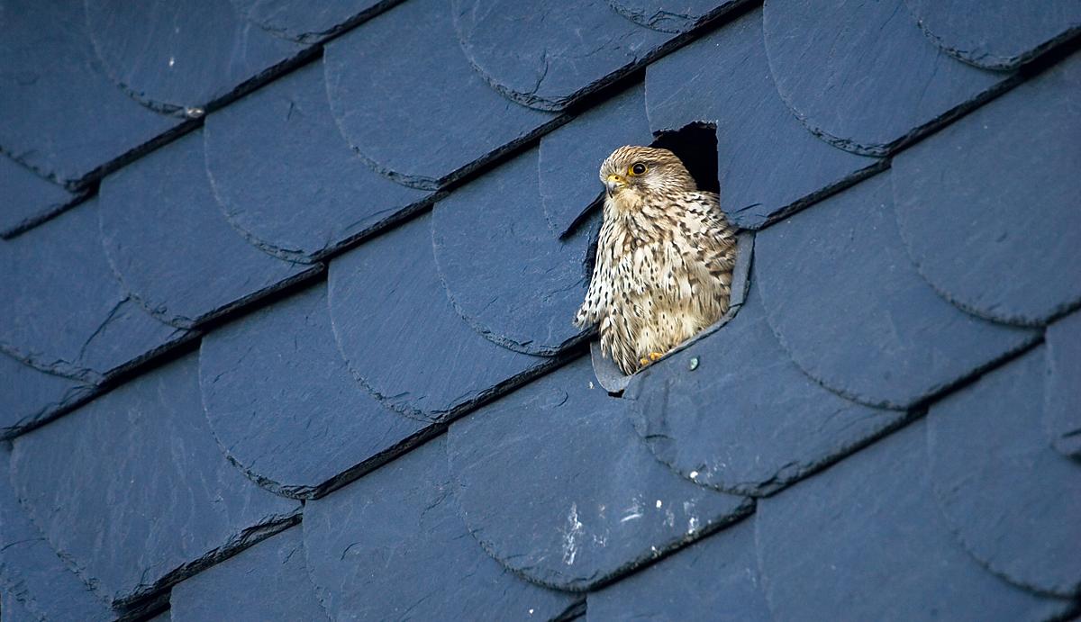 Falco tinnunculus; Turmfalke; greifvögel; juv.; pröhl
