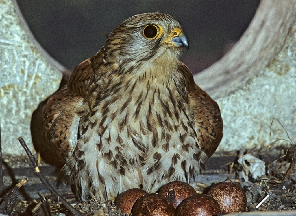 Falco tinnunculus; Turmfalke; gelege; greifvögel; leo; nest; vögel; weibchen