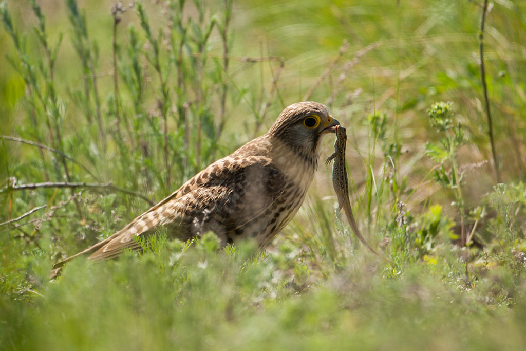 Falco tinnunculus; Kasachstan; Kestrel; Turmfalke; beute; birds; capture; eidechse; falconiformes; falken; female; greifvögel; hunting; jagd; kriechtiere; lizards; pröhl; raptors; reptilia; vögel; weibchen
