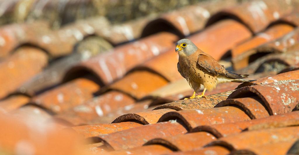 Falco naumanni; Lesser Kestrel; Rötelfalke; Spain; birds; falconiformes; greifvögel; male; männchen; pröhl; raptors; spanien; vögel