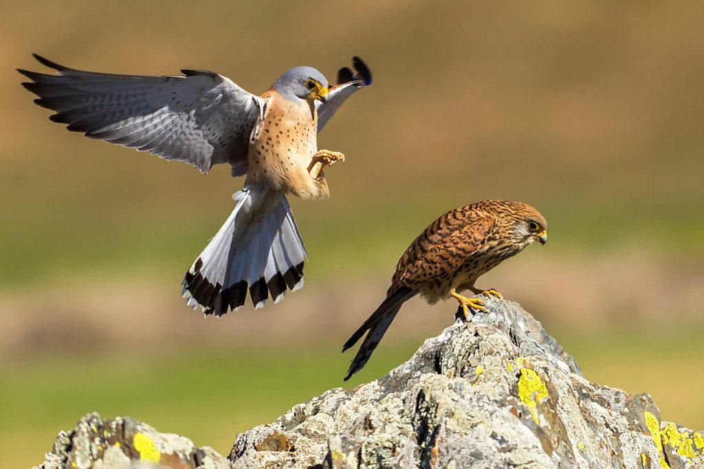 Falco naumanni; Lesser Kestrel; Rötelfalke; Spain; birds; falconiformes; female; greifvögel; kopula; male; männchen; pröhl; raptors; spanien; vögel; weibchen