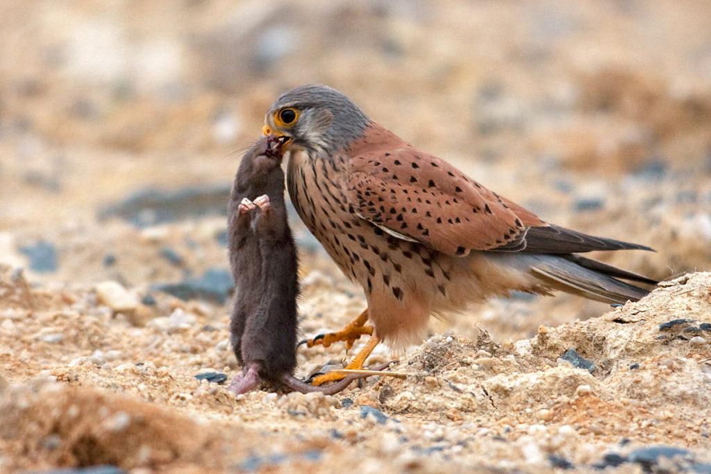 Falco tinnunculus; Kestrel; Turmfalke; beute; birds; falconiformes; falken; greifvögel; hunting; jagd; male; männchen; pröhl; raptors; vögel