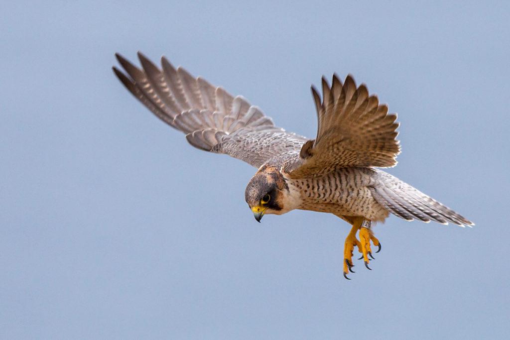 Barbary Falcon; Falco pelegrinoides; Halcon tagarote; Wüstenfalke; birds; falconiformes; flight; flug; greifvögel; pröhl; raptors; vögel