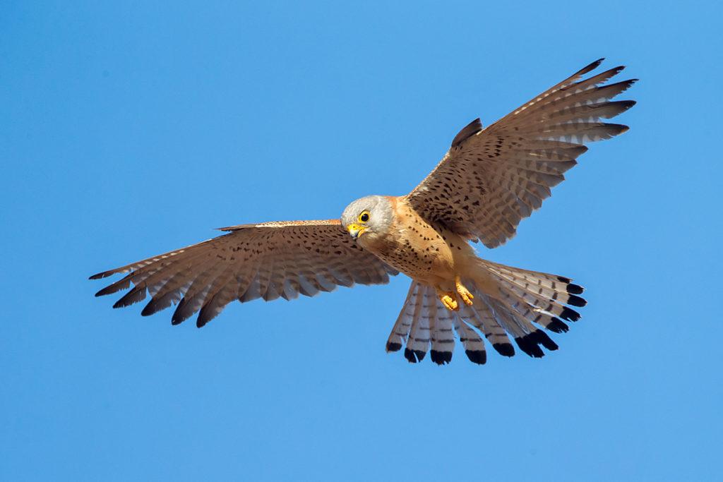 Falco naumanni; Lesser Kestrel; Rötelfalke; Spain; birds; falconiformes; flight; flug; greifvögel; immat.; immaturus; male; männchen; pröhl; raptors; spanien; vögel