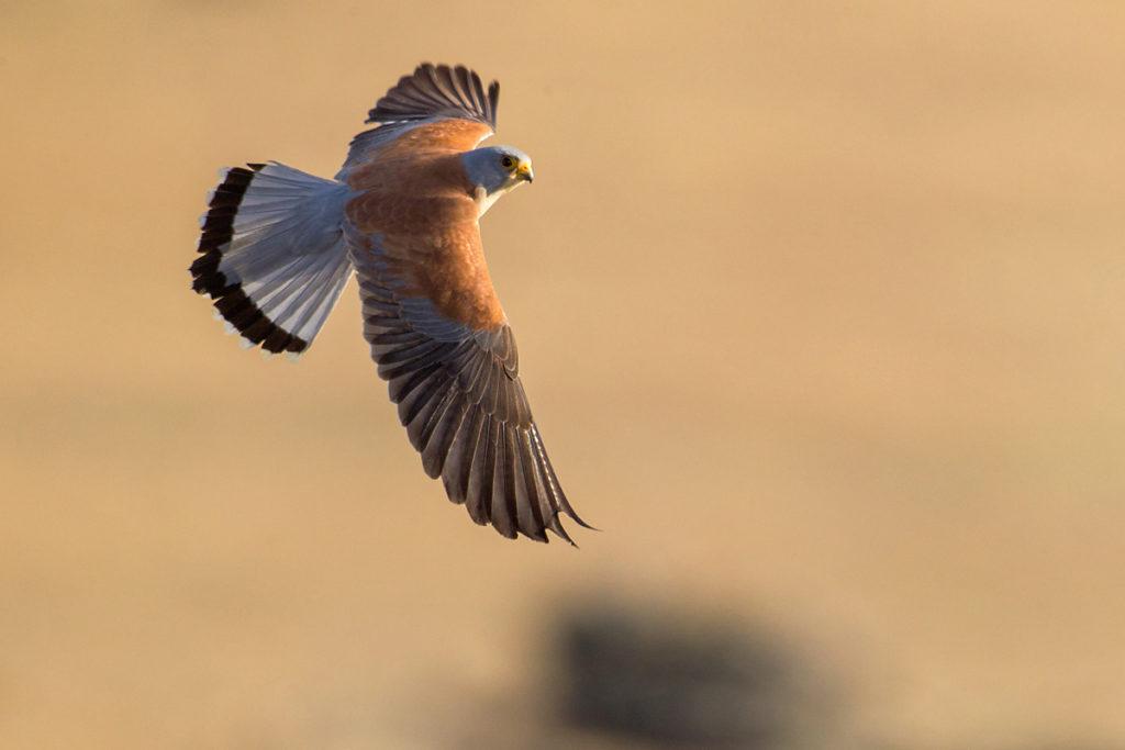 Falco naumanni; Lesser Kestrel; Rötelfalke; Spain; birds; falconiformes; flight; flug; greifvögel; hochforma; male; männchen; pröhl; raptors; spanien; vögel
