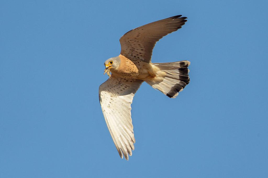 Falco naumanni; Lesser Kestrel; Rötelfalke; Spain; birds; falconiformes; flight; flug; greifvögel; male; männchen; pröhl; raptors; spanien; vögel