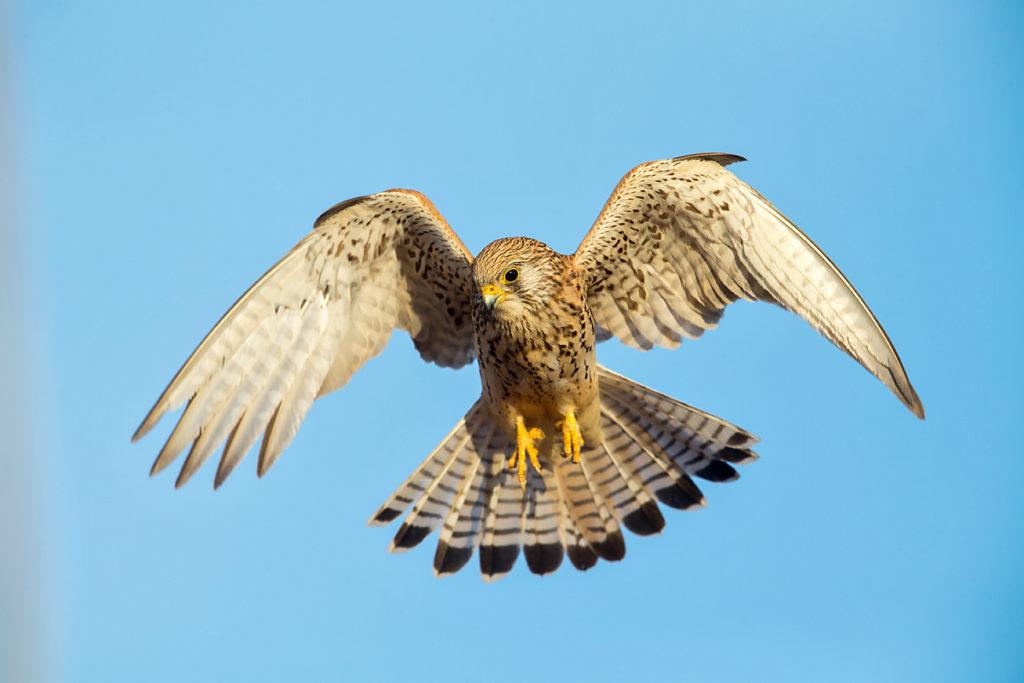 Falco naumanni; Lesser Kestrel; Rötelfalke; Spain; birds; falconiformes; female; flight; flug; greifvögel; pröhl; raptors; spanien; vögel; weibchen