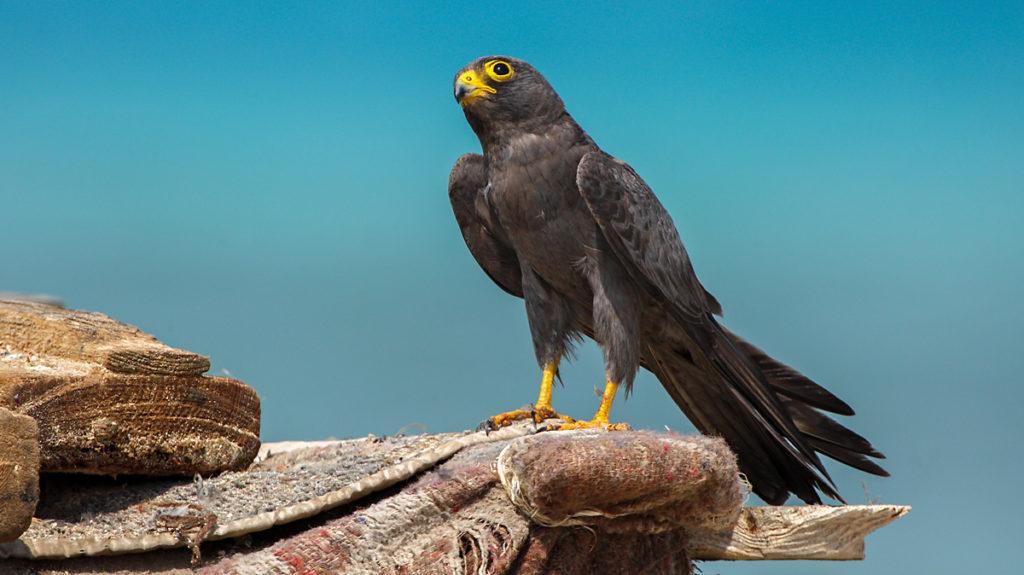 Falco concolor; Schieferfalke; Sooty Falcon; birds; falconiformes; greifvögel; pröhl; raptors; vögel; Ägypten