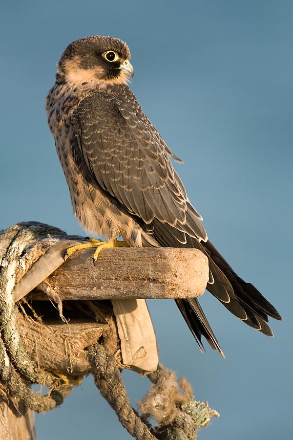 Falco concolor; Schieferfalke; Sooty Falcon; birds; falconiformes; greifvögel; juv.; pröhl; raptors; vögel; Ägypten