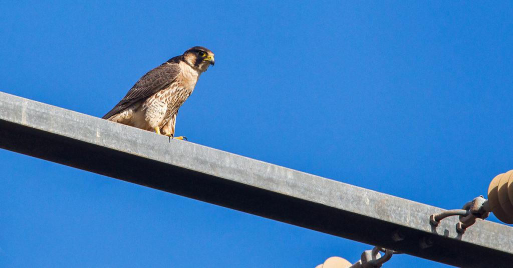 Barbary Falcon; Falco pelegrinoides; Morocco; Wüstenfalke; birds; falconiformes; greifvögel; marokko; pröhl; raptors; vögel