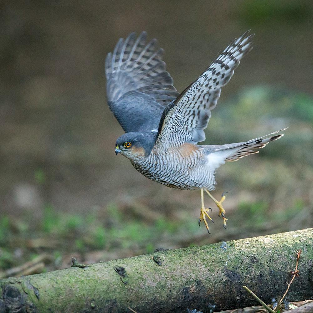 Accipiter nisus; Accipitriformes; Sparrowhawk; Sperber; beuteübergabeplatz; birds; greifvögel; male; männchen; pröhl; raptors; vögel