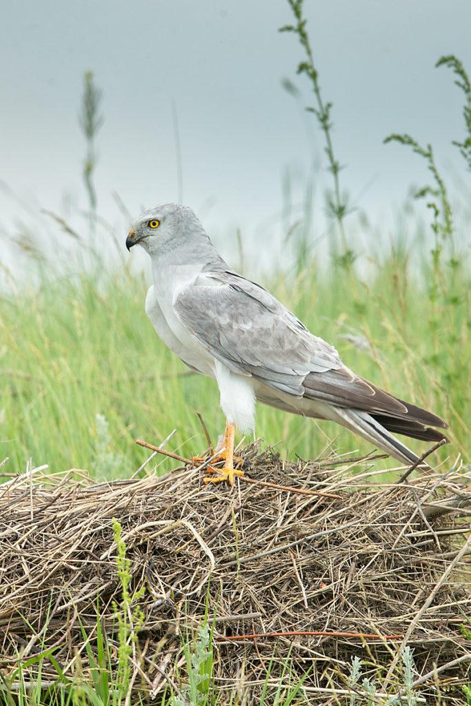 Accipitriformes; Circus macrourus; Kasachstan; Kazakhstan; Pallid Harrier; Steppenweihe; birds; greifvögel; male; männchen; pröhl; raptors; vögel