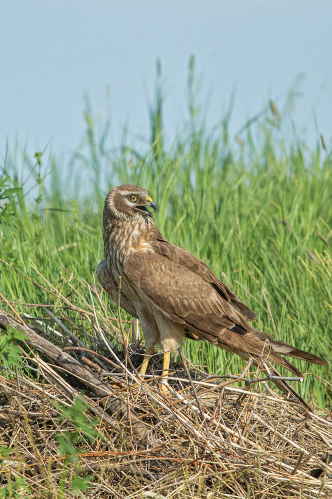 Accipitriformes; Circus macrourus; Kasachstan; Kazakhstan; Pallid Harrier; Steppenweihe; birds; female; greifvögel; pröhl; raptors; vögel; weibchen