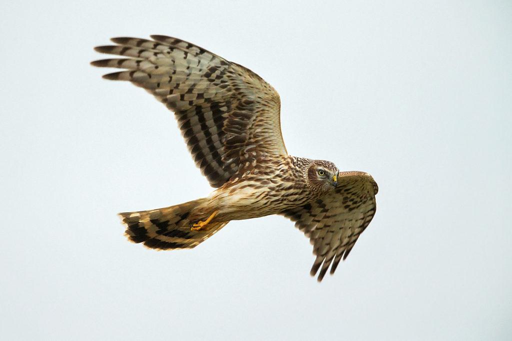 Accipitriformes; Circus cyaneus; Hen Harrier; Kornweihe; ad.; adult; birds; female; flight; flug; greifvögel; pröhl; raptors; vögel; weibchen