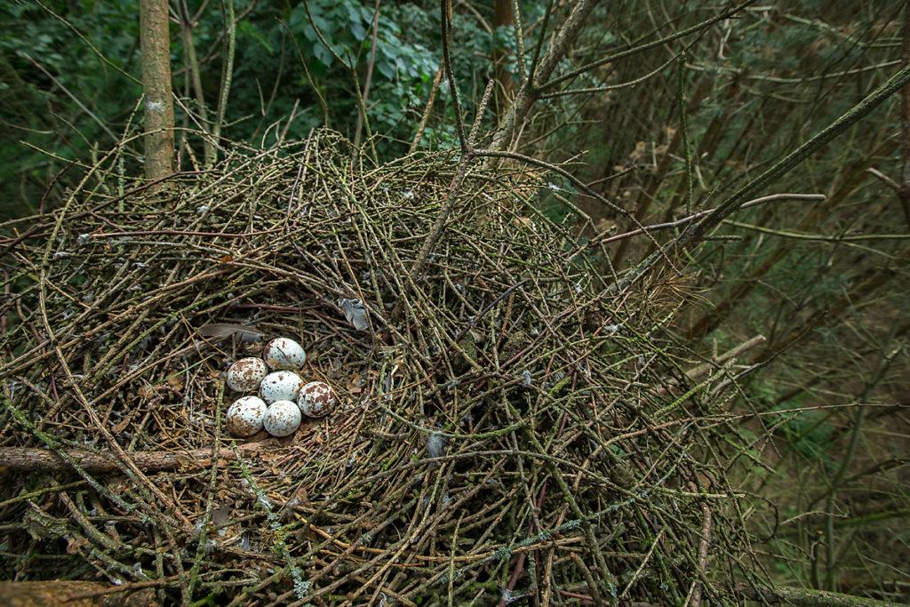 Accipiter nisus; Accipitriformes; Sparrowhawk; Sperber; birds; brut; eier; gelege; greifvögel; horst; nest; pröhl; raptors; vögel