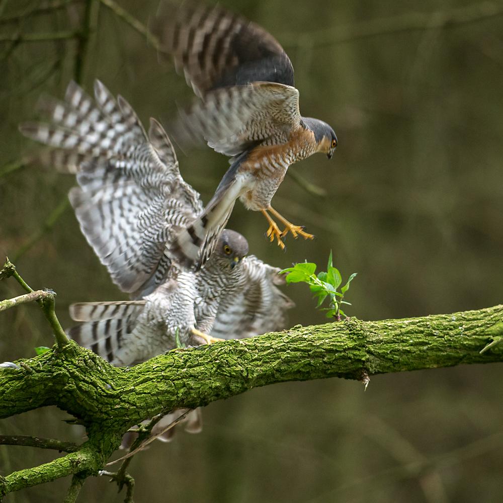 Accipiter nisus; Accipitriformes; Sparrowhawk; Sperber; ad.; adult; birds; female; greifvögel; male; männchen; paar; pröhl; raptors; vögel; weibchen