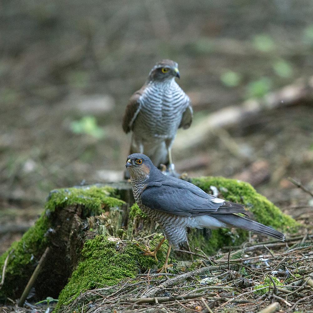 Accipiter nisus; Accipitriformes; Sparrowhawk; Sperber; beuteübergabeplatz; birds; female; greifvögel; male; männchen; paar; pröhl; raptors; vögel; weibchen
