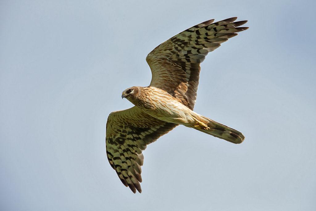 Accipitriformes; Circus macrourus; Kasachstan; Kazakhstan; Pallid Harrier; Steppenweihe; birds; female; flight; flug; greifvögel; pröhl; raptors; vögel; weibchen