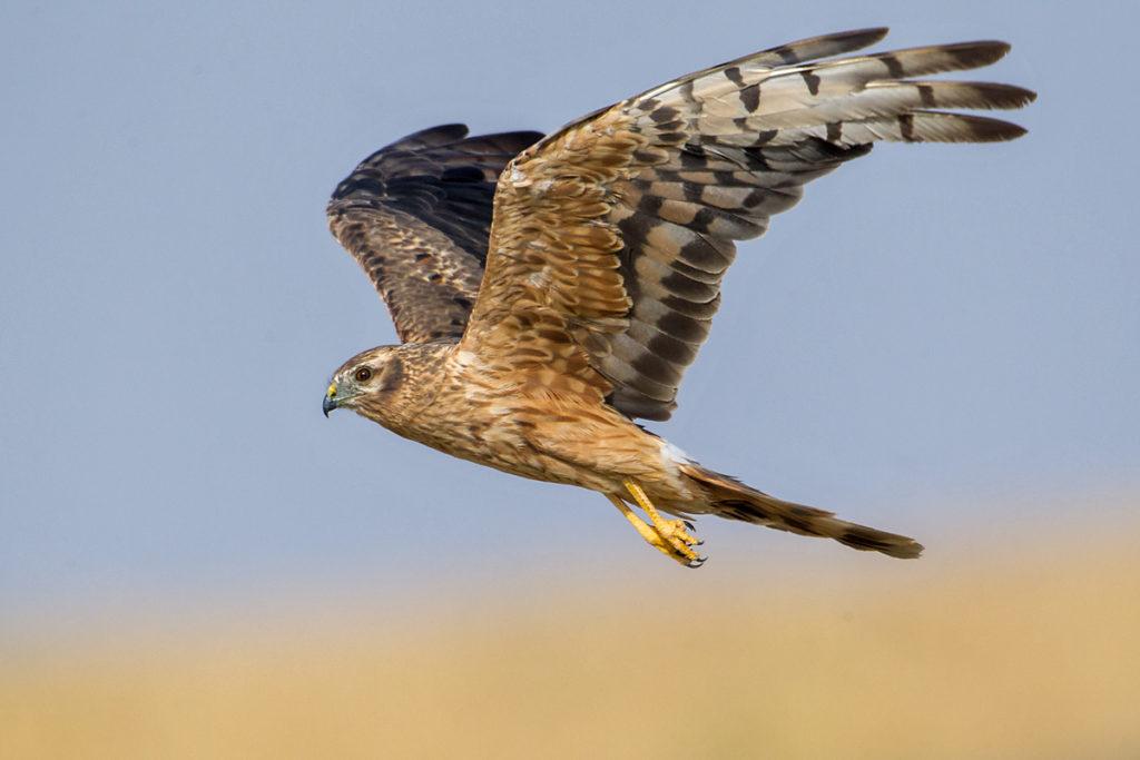 Circus pygargus; Montagu`s Harrier; Spain; Wiesenweihe; birds; falconiformes; female; flight; flug; greifvögel; immat.; pröhl; raptors; spanien; vögel; weibchen
