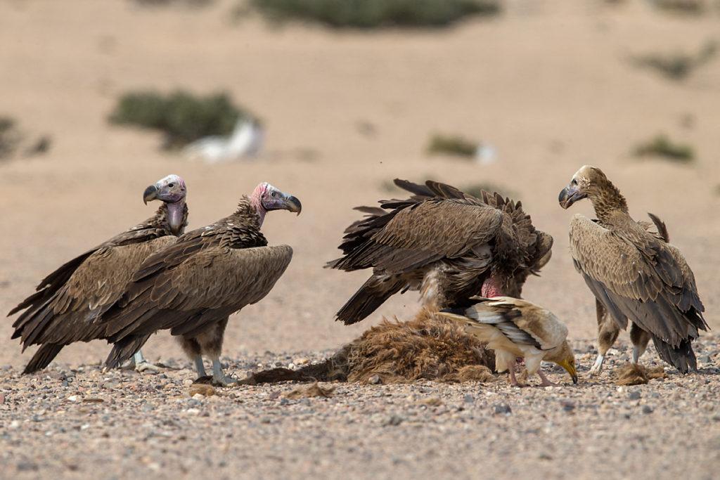 Accipitriformes; Aegypius tracheliotus; Aegypten; Egypt; Gebel Elba; Lappet-faced Vulture; Nubian Vulture; Ohrengeier; Torgos tracheliotus; Torgos tracheliotus nubicus; birds; geier; greifvögel; pröhl; raptors; vulture; vögel; Ägypten