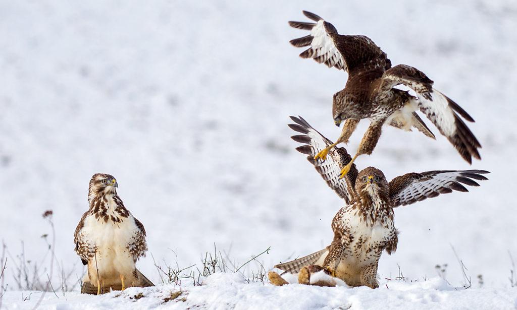 Buteo buteo; Buzzard; Mäusebussard; battle; birds; falconiformes; fight; flight; flug; greifvögel; kampf; pröhl; raptors; schnee; snow; streit; vögel; winter