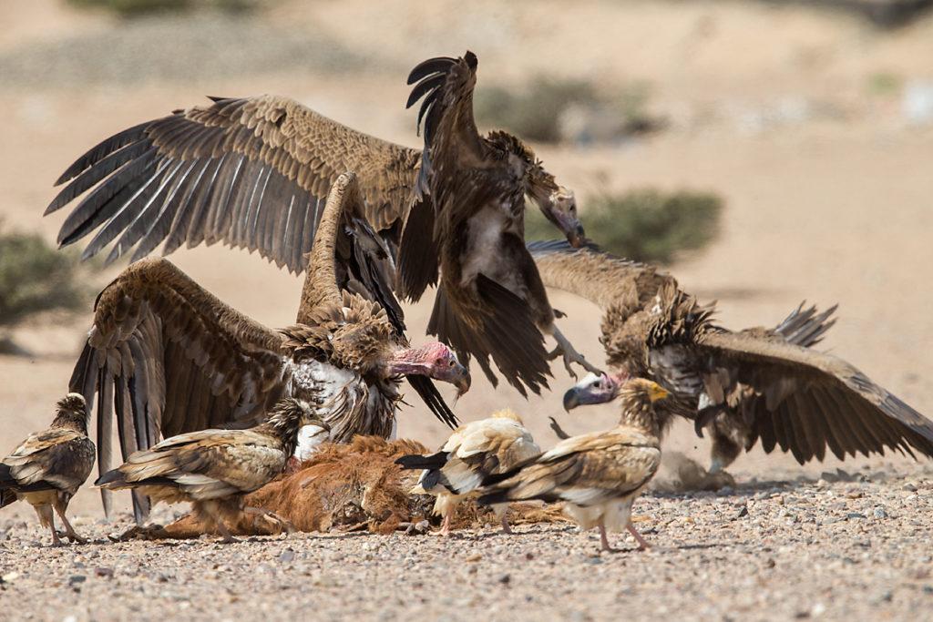 Accipitriformes; Aegypius tracheliotus; Aegypten; Egypt; Egyptian Vulture; Gebel Elba; Lappet-faced Vulture; Neophron percnopterus; Nubian Vulture; Ohrengeier; Schmutzgeier; Torgos tracheliotus; Torgos tracheliotus nubicus; birds; geier; greifvögel; pröhl; raptors; vulture; vögel; Ägypten