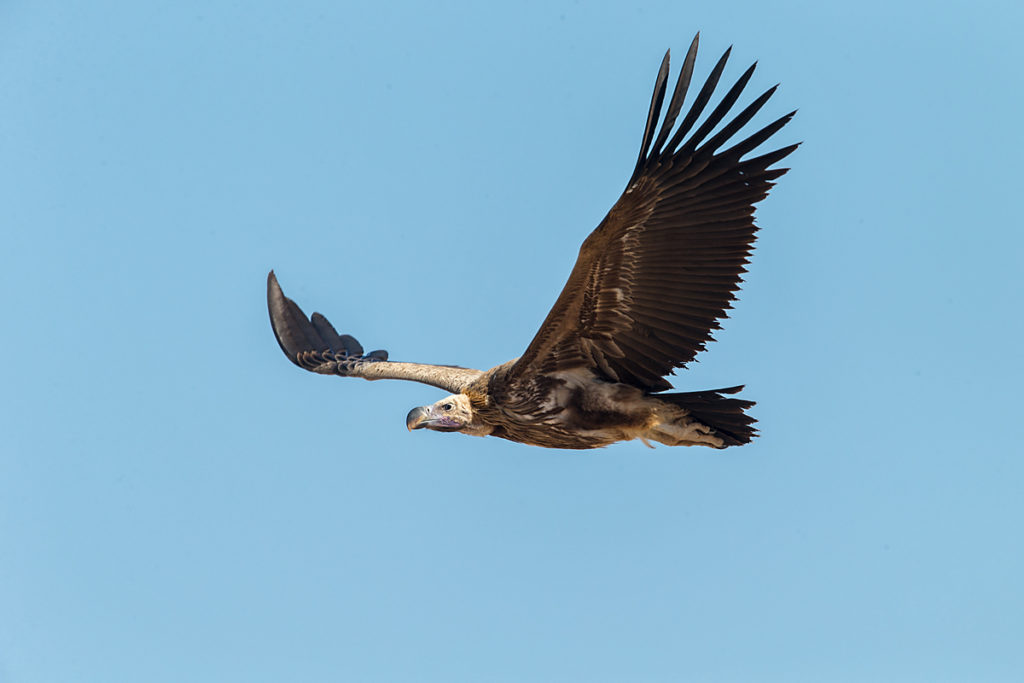 Accipitriformes; Aegypius tracheliotus; Aegypten; Egypt; Gebel Elba; Lappet-faced Vulture; Nubian Vulture; Ohrengeier; Torgos tracheliotus; Torgos tracheliotus nubicus; birds; flight; flug; geier; greifvögel; pröhl; raptors; vulture; vögel; Ägypten