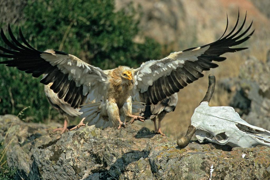 Neophron percnopterus; Schmutzgeier; bulgarien; greifvögel; pröhl