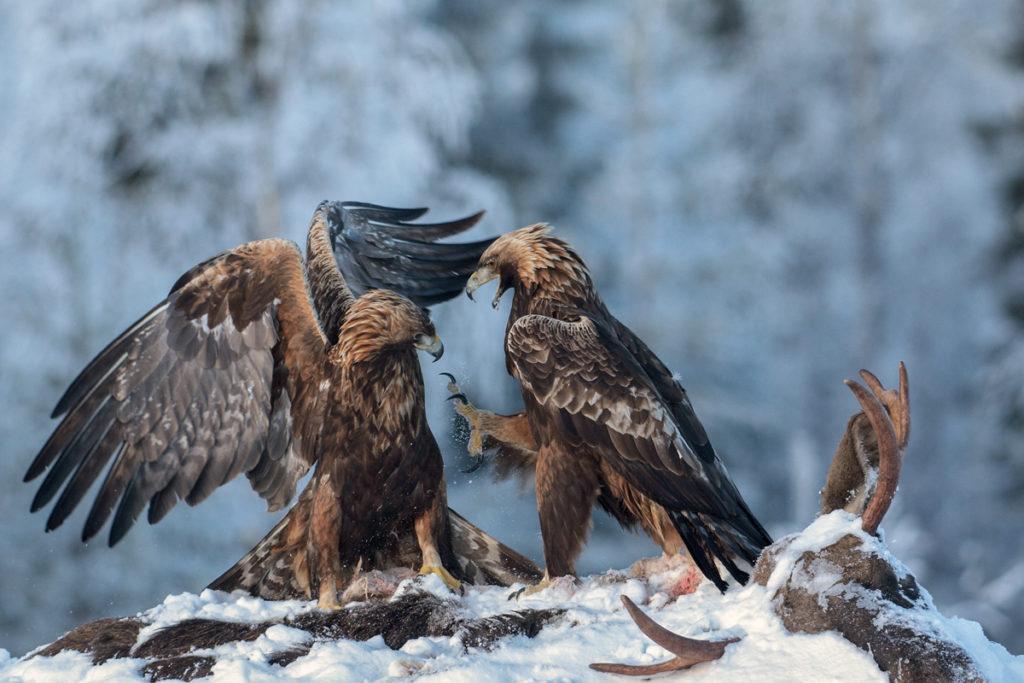 Alces alces; Aquila chrysaetos; Artiodactyla; Elch; Even-toed ungulate; Finnland; Golden Eagle; Moose; Paarhufer; Steinadler; ad.; adler; battle; birds; dead; eagle; falconiformes; greifvögel; luder; mammals; pröhl; raptors; schnee; snow; streit; säugetiere; tot; vögel; winter