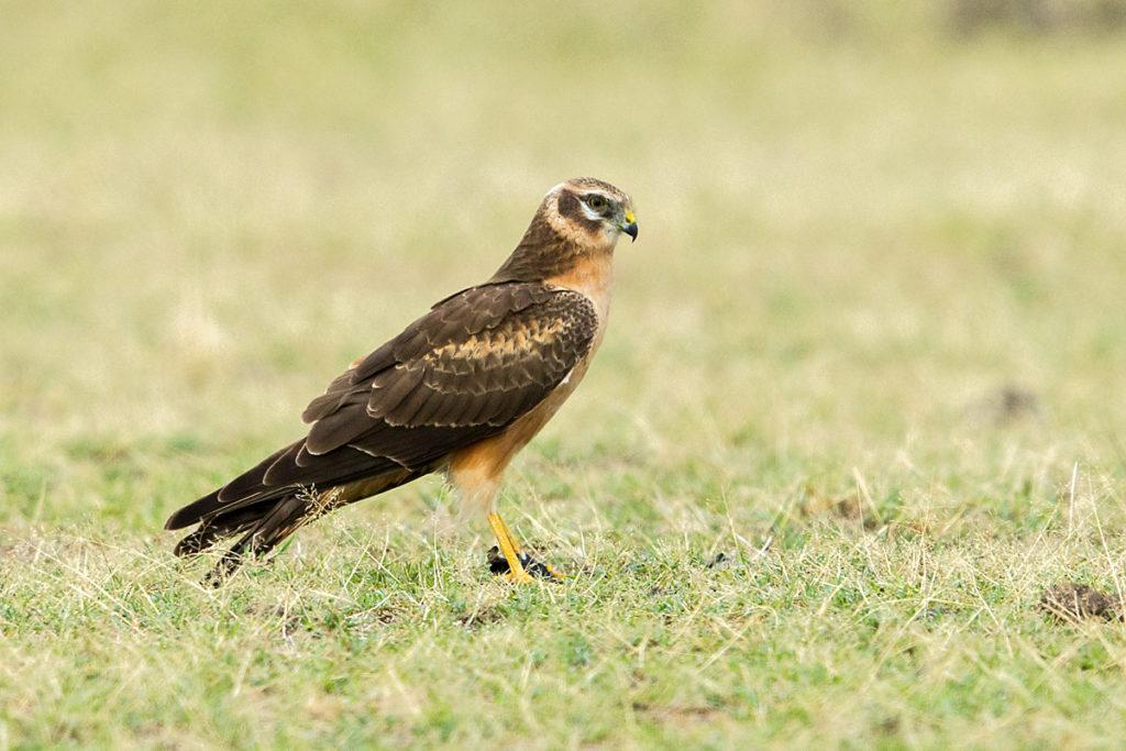 Abessinien; Accipitriformes; Aethiopien; Circus macrourus; Ethiopia; Pallid Harrier; Steppenweihe; birds; greifvögel; juv.; juvenil; pröhl; raptors; vögel; Äthiopien