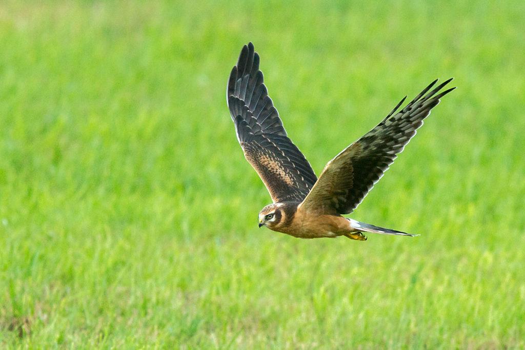 Accipitriformes; Circus macrourus; Pallid Harrier; Steppenweihe; birds; flight; flug; greifvögel; juv.; juvenil; pröhl; raptors; vögel