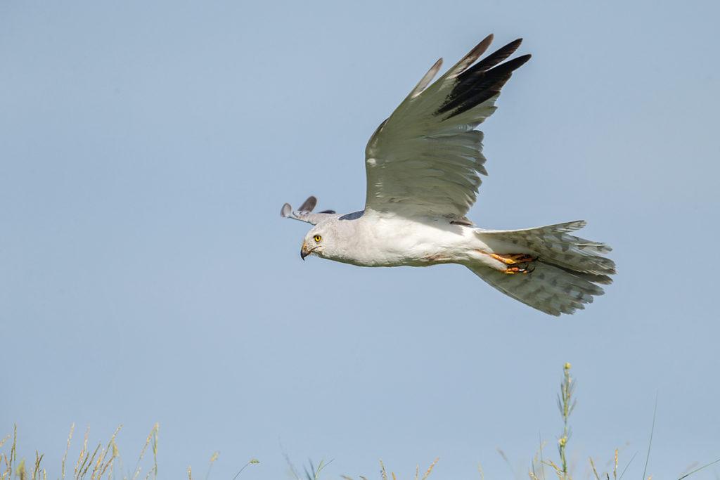 Accipitriformes; Circus macrourus; Kasachstan; Kazakhstan; Pallid Harrier; Steppenweihe; birds; flight; flug; greifvögel; male; männchen; pröhl; raptors; vögel