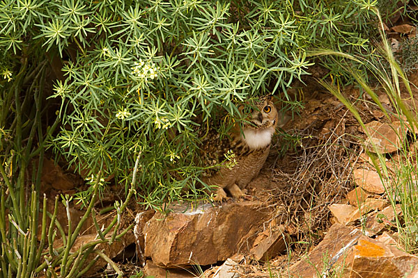 Bubo bubo ascalaphus; Pharaoh eagle owl; Pharaonenuhu; Wüstenuhu; birds; eulen; marokko; owls; pröhl; strigiformes; vögel