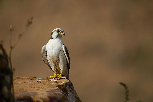 Falco biarmicus erlangeri; Lanner; Lannerfalke; Lannerfalke sspec.1; birds; falconiformes; falken; greifvögel; marokko; pröhl; raptors; vögel