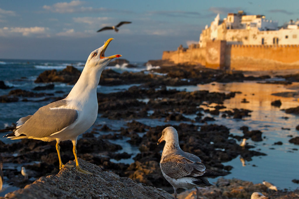 Essaouira; Larus michahellis; Mittelmeermöwe; Yellow-legged Gull; birds; call; charadriiformes; gulls; hafen; limikolen; marokko; möwen; port; pröhl; ruf; vögel