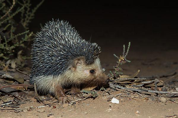 Afrikanischer Wüstenigel; Desert hedgehog; Insectivora; Insektenfresser; Morocco; Paraechinus aethiopicus; Wüstenigel; mammals; marokko; pröhl; säugetiere; Ägyptischer Igel; Äthiopischer Igel