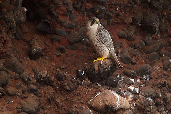 Barbary Falcon; Falco pelegrinoides; Halcon tagarote; Morocco; Wüstenfalke; birds; falconiformes; greifvögel; marokko; pröhl; raptors; vögel