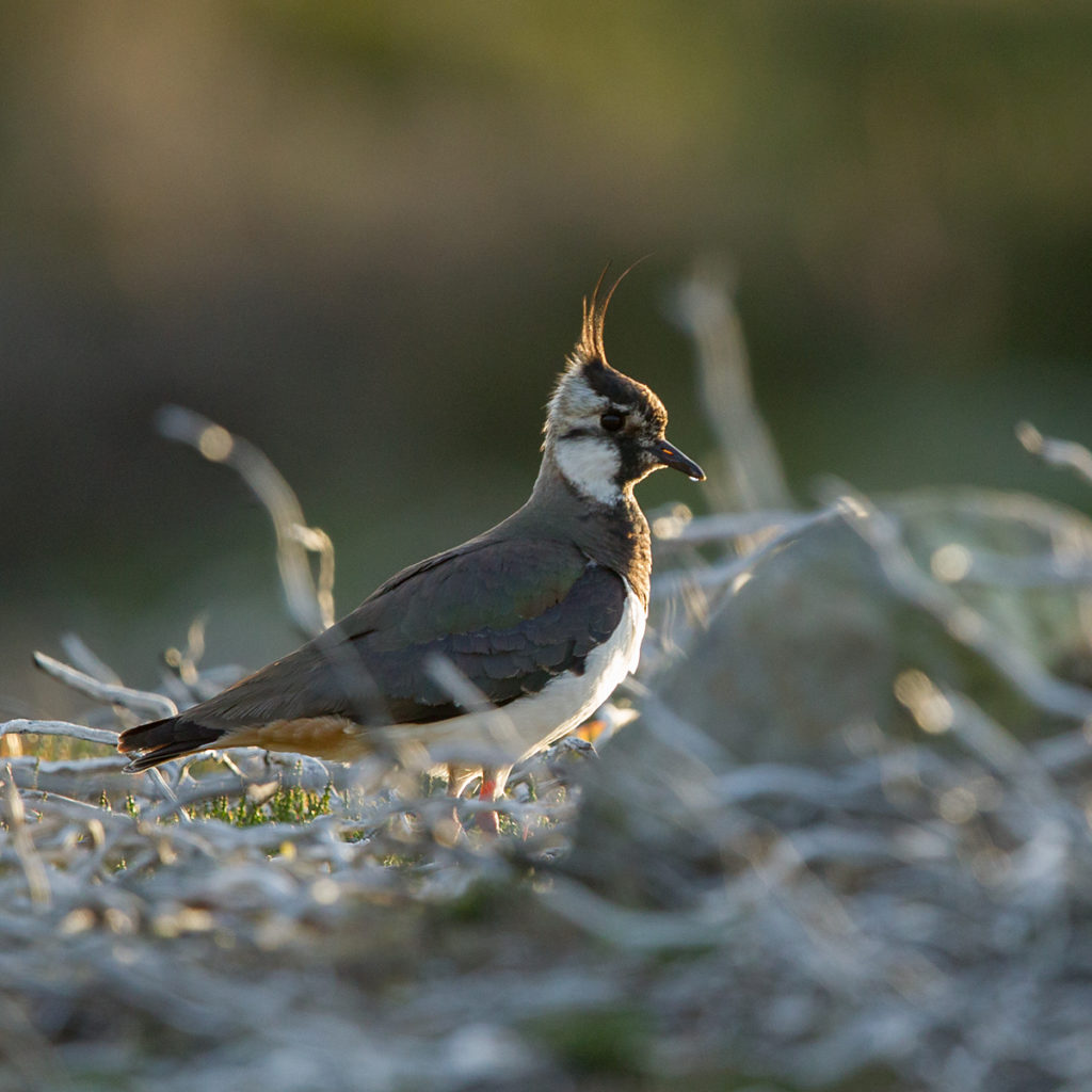 Kiebitz; Lapwing; Schottland; Scotland; Vanellus vanellus; birds; charadriiformes; limikolen; pröhl; regenpfeifer; vögel; wader; watvögel