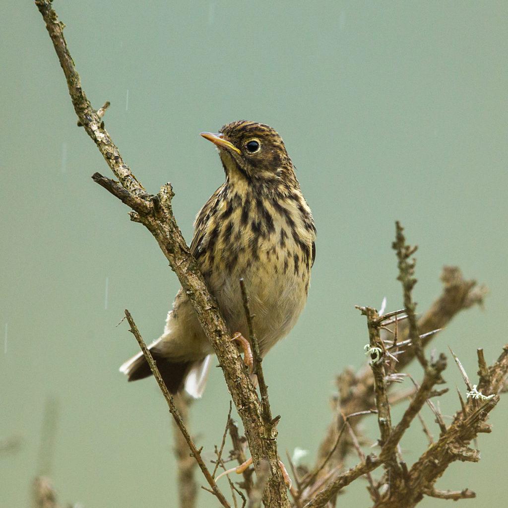 Anthus pratensis; Meadow Pipit; Schottland; Scotland; Wiesenpieper; birds; passeri; pröhl; singvögel; songbirds; vögel