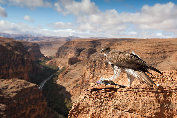 Accipitriformes; Aquila fasciata; Bonelli`s Eagle; Habichtsadler; Morocco; adler; birds; eagle; greifvögel; marokko; pröhl; raptors; vögel