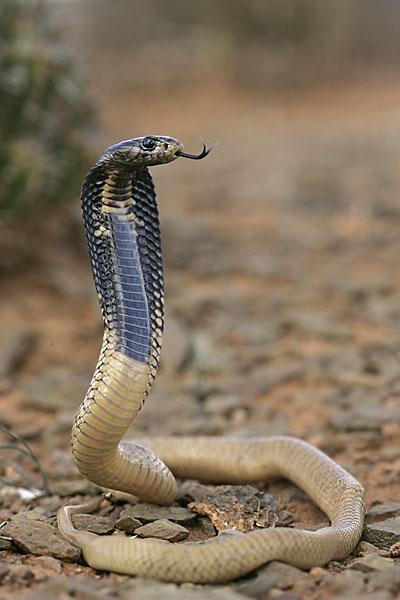 Aegyptische Kobra; Egyptian cobra; Naja haje legionis; Uräusschlange; critters; high size; hochformat; juv.; kriechtiere; marokko; pröhl; reptilia; reptilien; schlangen; snakes; Ägyptische Kobra
