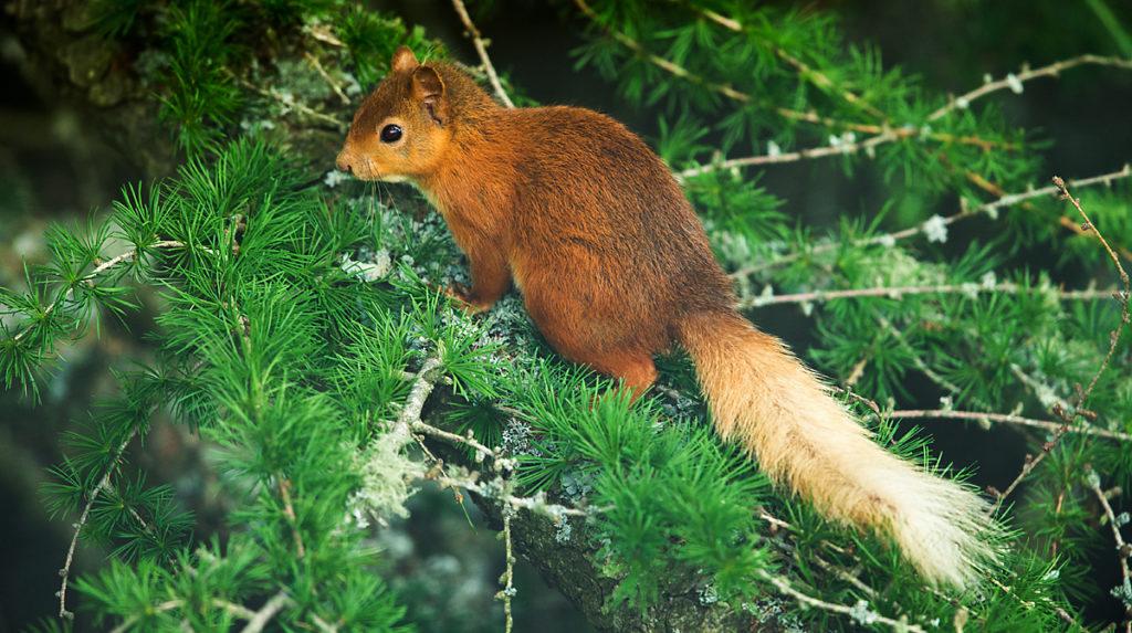 Eichhörnchen; Nagetiere; Rodentia; Schottland; Sciurus vulgaris; Sciurus vulgaris leucurus; Scotland; Squirrel; mammals; pröhl; rodents; säugetiere