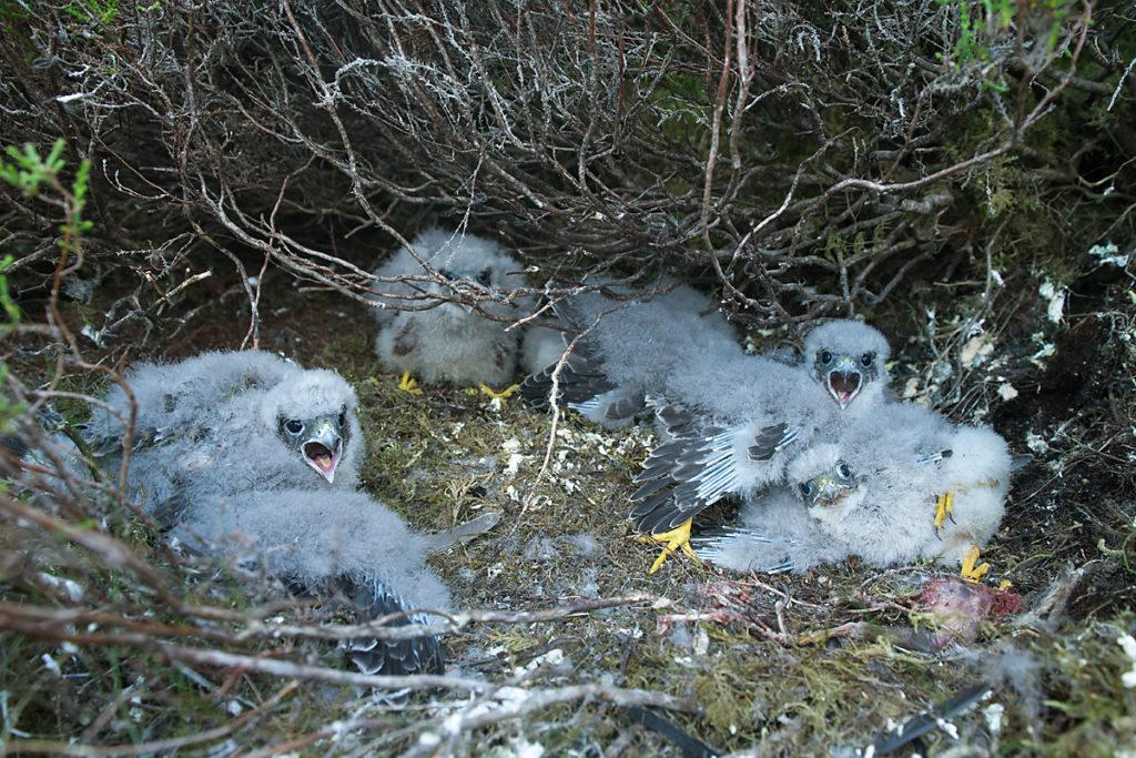 Falco columbarius; Merlin; Schottland; Scotland; birds; falconiformes; greifvögel; horst; jungvogel; juv.; juvenil; nest; nestling; pröhl; raptors; vögel