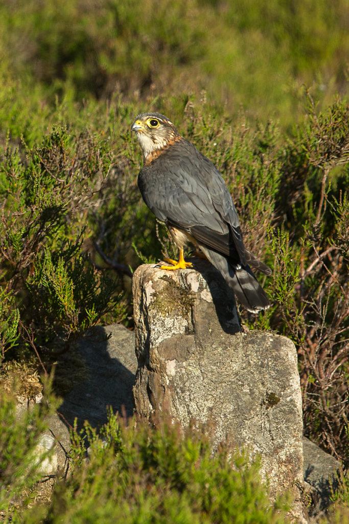 Falco columbarius; Merlin; Schottland; Scotland; birds; falconiformes; greifvögel; male; männchen; pröhl; raptors; vögel