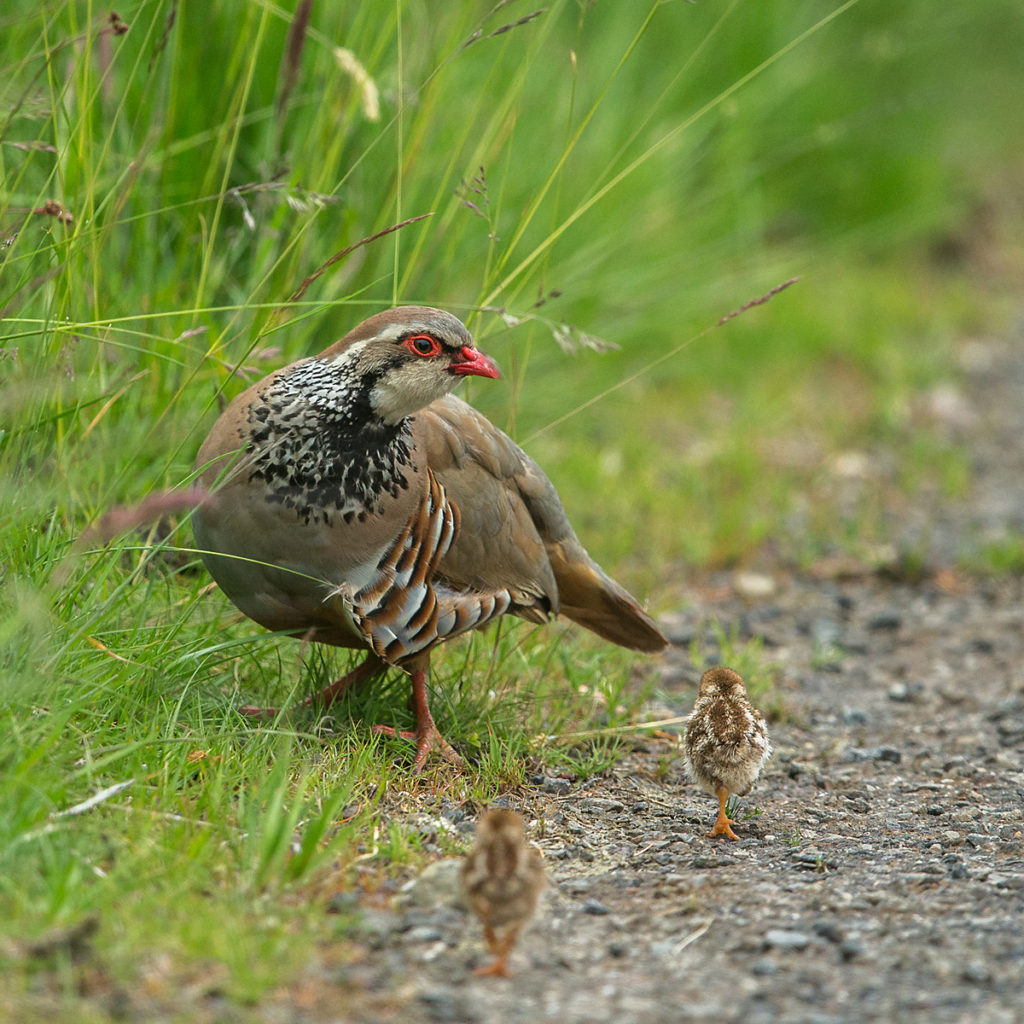 Alectoris rufa; Red-legged Partridge; Rothuhn; Schottland; Scotland; birds; chickens; galliformes; glattfußhühner; huhn; hühnervögel; juv.; juvenil; kücken; phasianidae; pröhl; vögel