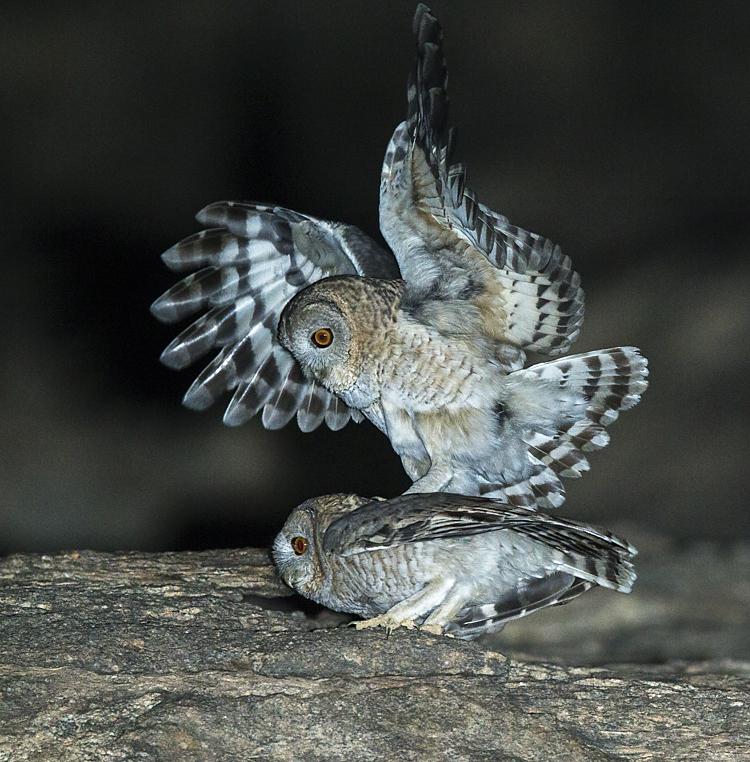 Aegypten; Desert Tawny Owl; Egypt; Fahlkauz; Strix butleri; Strix hadorami; Wüstenfahlkauz; birds; eulen; kopula; owls; paar; pröhl; strigiformes; vögel; Ägypten