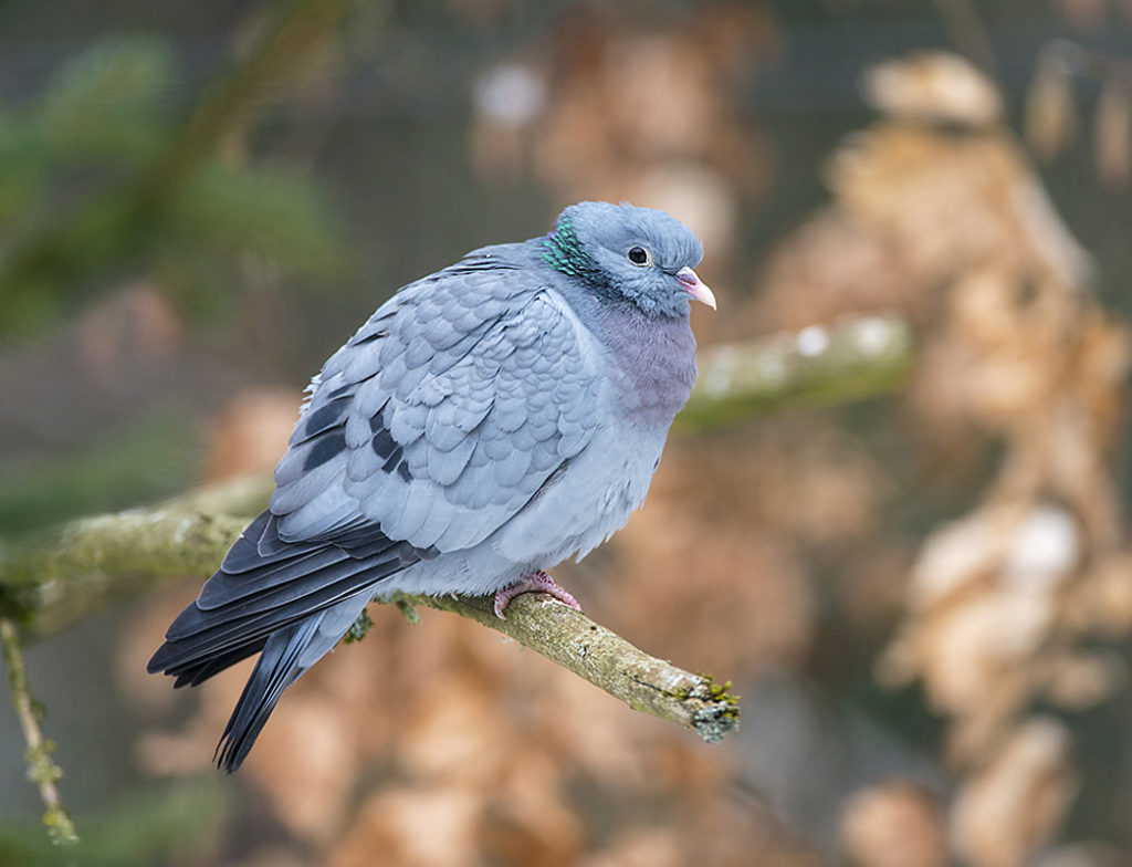 Columba oenas; Hohltaube; Stock Dove; birds; columbidae; doves; leo; tauben; vögel